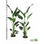 Strelitzia nicolai 24CM