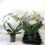 Phalaenopsis anthura leeds valge kaarel 12cm
