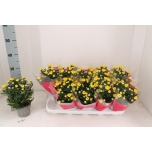 Chrysanthemum indicum grp brush 12cm