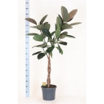 Ficus elastica burgundy 30cm