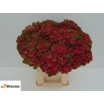 Hydrangea Hortensia mag charlotte 55cm
