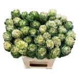Brassica Kapsas Empire Alexand 70cm