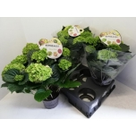 Hydrangea macrophylla rembrandt vibrant verde 15cm