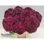 Hydrangea Hortensia 60cm dark ruby