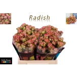 Kobarroos 40cm Wild Radish