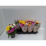 Chrysanthemum indicum grp da vinci gemengd 14cm