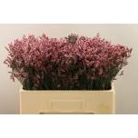 Limonium sensy pink beauty 50cm