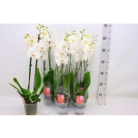 Phalaenopsis Kuuking Crystal 12cm