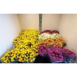 Chrysanthemum (indicum grp) belgian mums soul sis 14cm