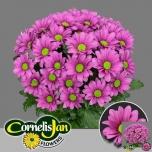 Chrysanthemum Krüsanteem sp ballerina´s