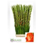 Gladiolus la stormyGladiool
