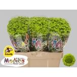 Chrysanthemum Krüsanteem Santini Madiba Brits Green
