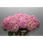 Hydrangea Hortensia Veronica 60cm