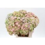 Hydrangea Hortensia Mag Love Roze 60cm