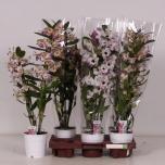 Dendrobium nobile gemengd 12cm