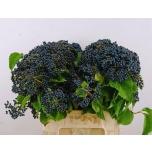 Viburnum dark blue hermania 45cm