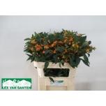 Euphorbia Piimalill 75cm Sunstream