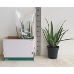 Aloe vera 24cm