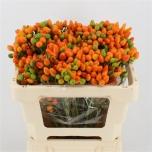 Capsicum Orange Candy 50 cm Pepper Paprika
