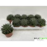 Aloe aristata 10.5cm