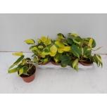 Philodendron scandens brasil 13cm