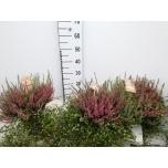 Calluna vulgaris beauty-ladies mixed 20cm
