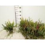 Calluna vulgaris beauty-ladies mixed 10,5cm