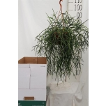Rhipsalis burchellii 20cm