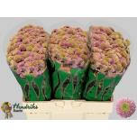 Chrysanthemum Krüsanteem Santini Jeanny Pink
