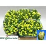 Tulipa FR 40GR
