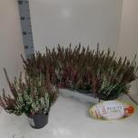 Calluna vulgaris beauty-ladies mixed in pot 2 col 11cm