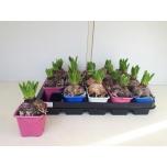 Hyacinthus orientalis 3 colour mix 7cm