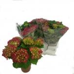 Hydrangea macrophylla hot red 14cm