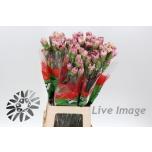 Dianthus Nelk Antiqua 70cm