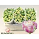 Tulipa do 34GR