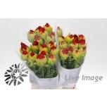 Tulipa do 53GR