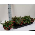 Gaultheria procumbens big berry 12cm