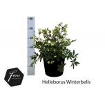 Helleborus Lumeroos 31cm Winterbells