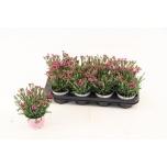 Dianthus pink kisses 12cm