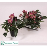 Helleborus hgc ice n´ roses red 15cm