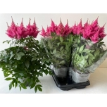 Astilbe arendsii grp drum and bass 14cm