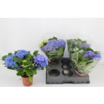 Hydrangea macrophylla blauer zwerg 14cm