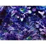 Chrysanthemum Krüsanteem sp Euro Dark Blue