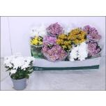 Chrysanthemum indicum grp mixed 12cm