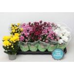 Chrysanthemum 9cm Indicum mix