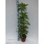 Schefflera arboricola gold capella 21cm