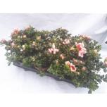 Rhododendron simsii grp mevr gerard kint 13cm