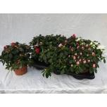 Rhododendron Asalea simsii grp hellmut vogel mixed 14cm