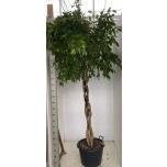 Ficus benjamina 50cm Viigipuu Exotica