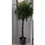 .Ficus benjamina exoticaS1:45 S2:250